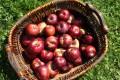 apples-in-basket
